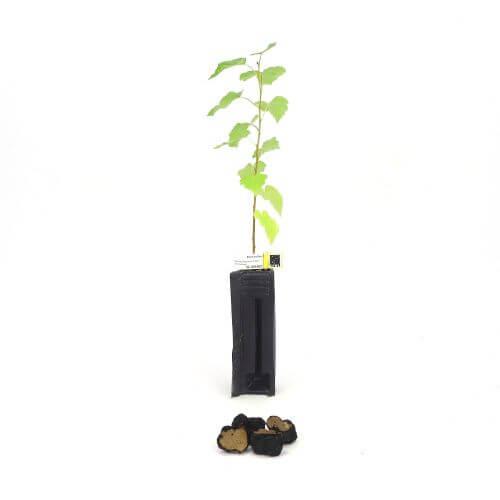 Bouleau Uncinatum (Betula Pendula)