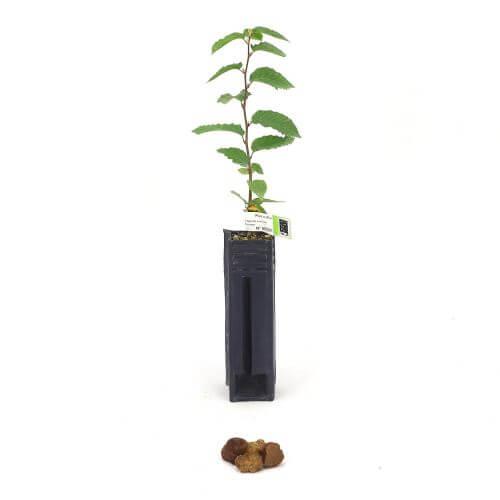 Charme Borchii (Carpinus Betulus)