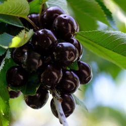 Cerisier 'Bigarreau Noir de Meched'
