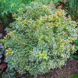 Andromède du Japon 'Little Heath' (Pieris Japonica)