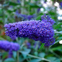 Arbre à Papillons 'Nanho Blue' (Buddleia Davidii)