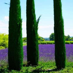 Cyprès de Provence 'Totem' (Cupressus Sempervirens)