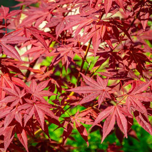 Erable du Japon Pourpre (Acer Palmatum Atropurpureum)
