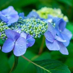 Hortensia à Bonnet de Dentelle 'Blue Bird' (Hydrangea Serrata)