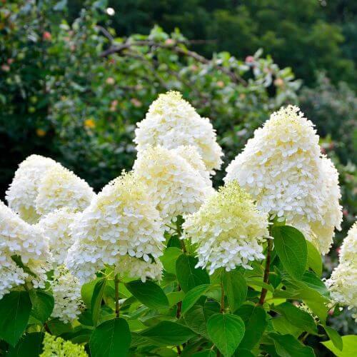 Hortensia Paniculé 'Bobo' (Hydrangea Paniculata)
