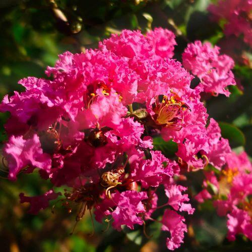 Lilas des Indes 'Petite Orchidée' (Lagerstroemia Indica)