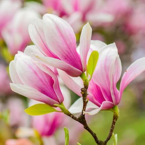 Magnolia 'Georges Henry Kern'