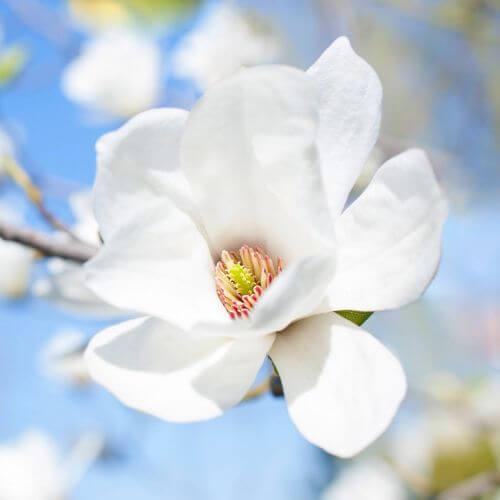 Magnolia de Soulange 'Alba Superba'
