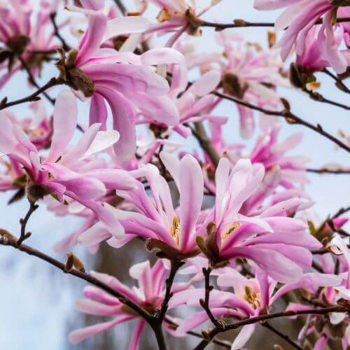 Magnolia Etoilé 'Rosea'