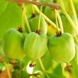 Kiwi Auto-fertile 'Arguta Vitikiwi'