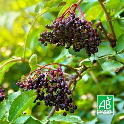 Sureau Noir à Fruits Noirs 'Korsor' BIO