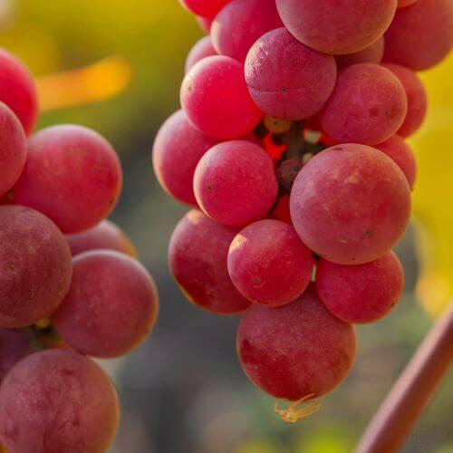 Vigne 'Chasselas Rosé'
