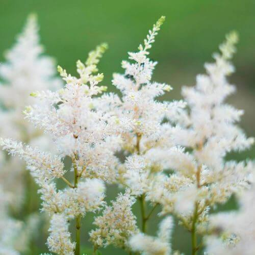Astilbe d'Arends 'Mont Blanc'