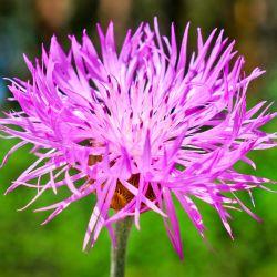 Centaurée 'Pulcherrima' (Centaurea 'Pulcherrima')