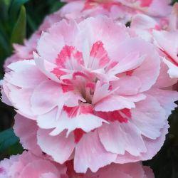 Oeillet Mignardise 'Doris' (Dianthus)