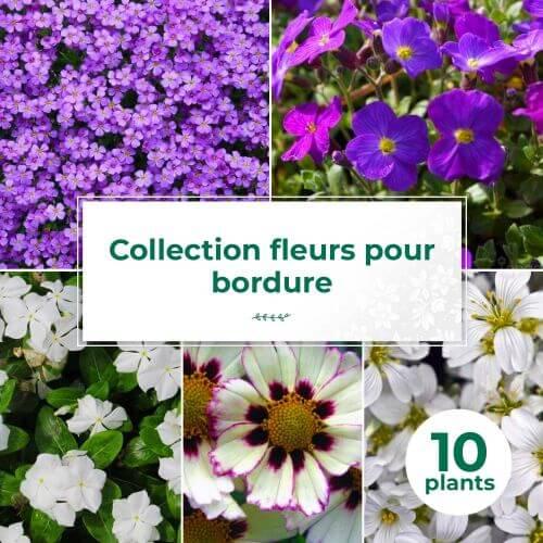 Collection de 10 vivaces tapis de fleurs pour bordure