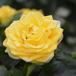 Rosier Tige 'Landora Sunblest'